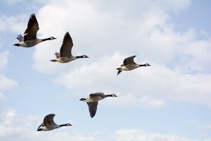 Canadian geese In V formation