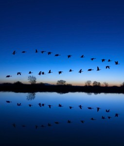 Wild geese over water