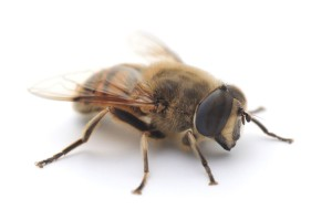A drone (male bee)