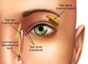 Anatomy of tear glands