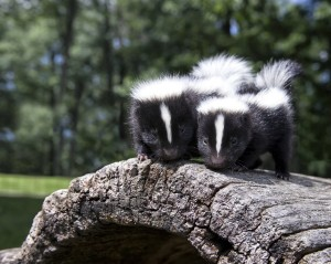 Cute baby skunks
