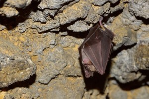Bat hanging in a cave