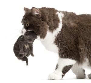 Mom cat carrying a kitten